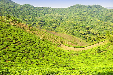 View across tea plantations and agricultural land bordering Bwindi Impenetrable National Park in southern Uganda.