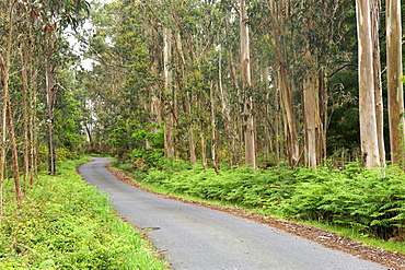 Road through a eucalyptus forest in the A Corun~a province of Spain's Galicia region.
