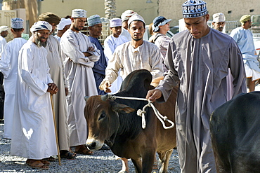 Calves being paraded for sale in the livetsock arena of the Friday market in Nizwa in Oman.