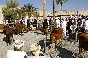 View of the livestock arena at the Friday market in Nizwa in Oman.