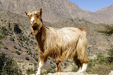 Goat near the vhe village of Hadash in the mountains of Jebel Akhdar in Oman.
