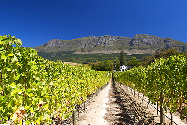 View of the manor house and vineyards at the Buitenverwagting wine estate in Constantia, Cape Town, South Africa.