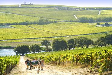Ingrid and Luca Bein leading visitors on a picnic walk with their two donkeys through the vineyards of Bein and neighbouring wine estates in Stellenbosch, Western Cape, South Africa.