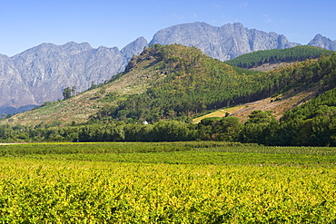 Vineyards in the Franschhoek valley, Western Cape Province, South Africa.