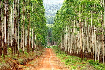 Forest road through a eucalyptus plantation off the R535 between Graskop and Hazyview in South Africa.