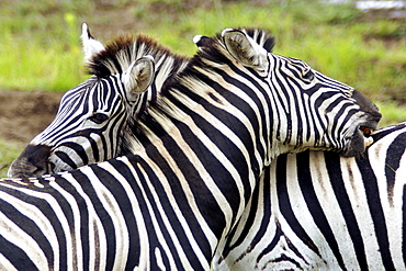 Plains zebras, also known as Burchell's zebras (Equus burchelli antiquorum) scratching each other's backs in the Hluhluwe/Umfolozi National Park in South Africa.
