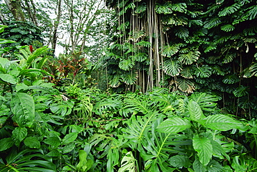 Lush vegetation at Akaka Falls, the warmth, high rainfall and fertile volcanic soils of the east coast create rich forests, Big Island, Hawaii, United States of America, Pacific, North America