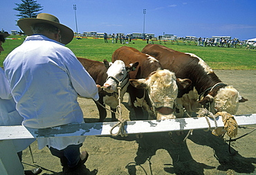 Stockman with pedigree cattle at the annual agricultural show in Kiama, Illawara coast, New South Wales, Australia, Pacific