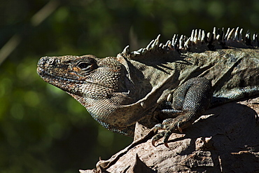 A large male Black Ctenosaur (Iguana negra) with parasitic ticks, a lizard species endemic to Central and South America, Nosara, Nicoya Peninsula, Guanacaste Province, Costa Rica, Central America