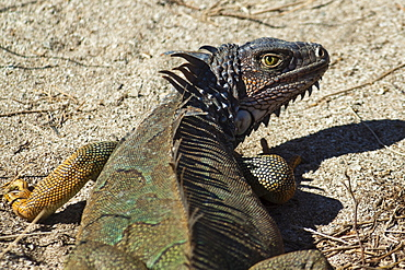 A large male Green Iguana, a lizard species endemic to Central and South America, Nosara, Nicoya Peninsula, Guanacaste Province, Costa Rica, Central America