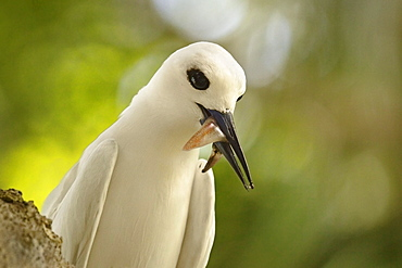 Adult white tern (Gygis alba) with squid in its beak, Lord Howe Island, UNESCO World Heritage Site, New South Wales, Australia, Pacific