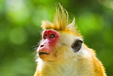 Toque macaque monkey, named for its hair, endangered, Royal Botanic Gardens, Peradeniya, Kandy, Sri Lanka, Asia