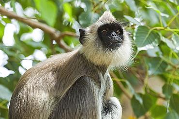 Grey (Hanuman) langur monkey in this sacred pilgrimage town, often seen begging at temples, Kataragama, Uva Province, Sri Lanka, Asia