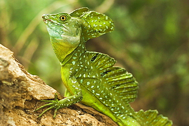 Plumed Basilisk (Jesus Christ Lizard), named because it can run some meters over water; Arenal, Alajuela Province, Costa Rica