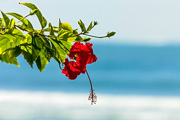 Hibiscus flower at popular Playa Guiones beach, Nosara, Nicoya Peninsula, Guanacaste Province, Costa Rica, Central America