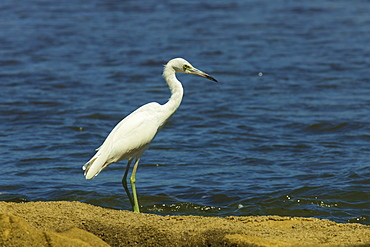 Snowy Egret (Egretta thula) by the Nosara River mouth near the Biological Reserve, Nosara, Guanacaste Province, Costa Rica, Central America