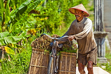 Farmer moving rice by bicycle for transplantation at paddy fields near Pangandaran, West Java, Java, Indonesia, Southeast Asia, Asia