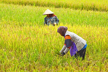 Women in conical hat and scarf working in rice field in this rural area west of Pangandaran, Cijulang, West Java, Java, Indonesia, Southeast Asia, Asia