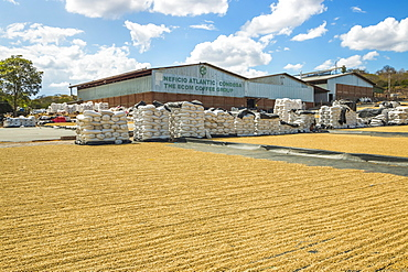 Coffee factory with sacks and beans drying in the sun, in an important growing region in the north west, Condega, Nicaragua, Central America