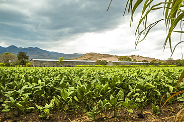 Field of tobacco plants in an important growing region in the north west, Condega, Nicaragua, Central America