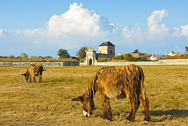 Woolly donkeys, a rare type (Baudet du Poitou) once used to carry salt, St. Martin de Re, Ile de Re, Charente-Maritime, France,  Europe