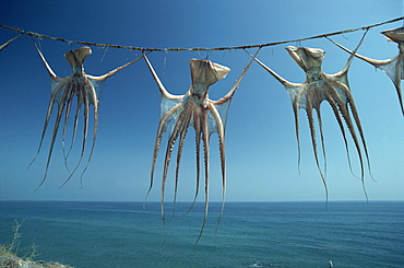 Octopi hung out to dry, Nerja, Costa del Sol, Andalucia, Spain, Europe