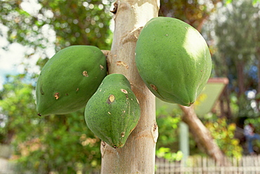 Papaya fruit on tree, Bohol, Philippines, Southeast Asia, Asia