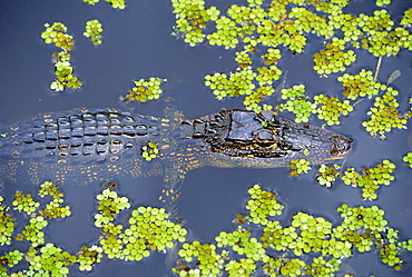 Juvenile alligator in swampland (bayou) at Jean Lafitte National Historical Park and Preserve, south of New Orleans, Louisiana, USA