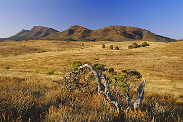 Gnarled tree and east escarpment of Wilpena Pound, a huge natural basin in the Flinders Ranges National Park, South Australia, Australia