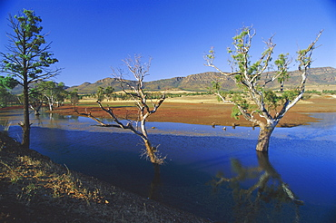 Gum trees in a billabong at Rawnsley and the southwest escarpment of Wilpena Pound, the huge natural basin in the Flinders Ranges National Park, South Australia, Australia
