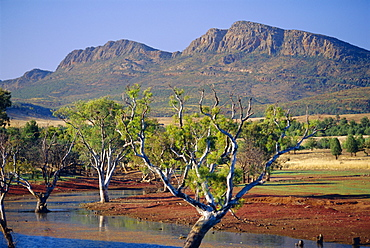 Gum trees in a billabong at Rawnsley and the south west escarpment of Wilpena Pound, a huge natural basin, Flinders Ranges National Park, South Australia, Australia