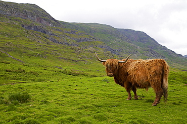 Highland cow, Kirkstone Pass, Lake District National Park, Cumbria, England, United Kingdom, Europe