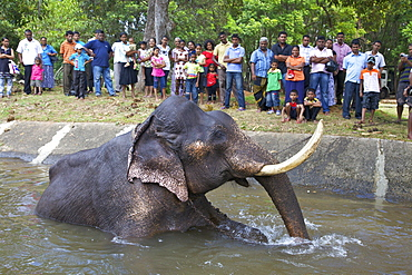 Captive Asiatic elephant (Elephas maximus maximus) in Colombo prior to the Perahera, Victoria Park, Colombo, Sri Lanka, Asia
