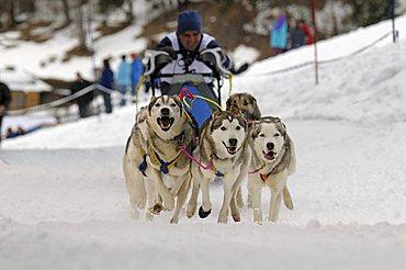 Huskies, International Sled Dog Race, Wallgau 2009, Upper Bavaria, Bavaria, Germany, Europe