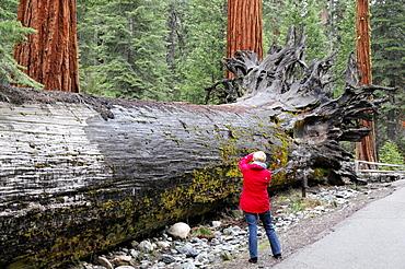 Sequoias trees in Mariposa Grove, Yosemite National Park, California, USA, North America