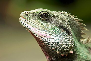 Green Water Dragon (Physignathus cocincinus)