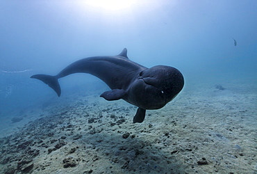 False Killer Whale (Pseudorca crassidens), swimming above sandy sea bed, Subic Bay, Luzon, Philippines, South China Sea, Pacific
