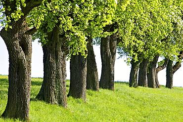 Row of fruit trees in the Mostviertel region, Lower Austria, Austria, Europe