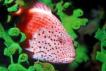 Blackside Hawkfisch (Paracirrhites fosteri) in Green tube coral (Tubastrea micranthus), Gangga Island, Bangka Islands, North Sulawesi, Indonesia, Molucca Sea, Pacific, Asia