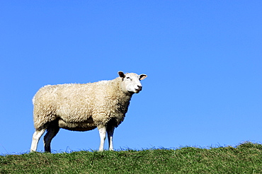 Domestic Sheep (Ovis aries) standing on a dyke, Netherlands