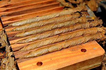 Freshly rolled cigars in a compression device, cigar factory in Punta Cana, Dominican Republic, Caribbean