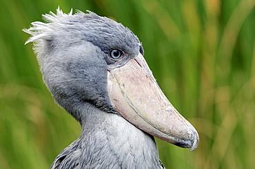 Shoebill, Whalehead or Whale-headed Stork (Balaeniceps rex)
