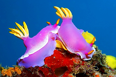 Pink Hypseltodoris (Hypseltodoris bullocki) beside nest of eggs signalling receptiveness, Gangga Island, Bangka Islands, North Sulawesi, Indonesia, Molucca Sea, Pacific Ocean, Asia