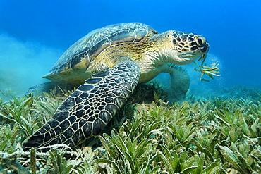 Green Sea Turtle (Chelonia mydas) feeding on a meadow of sea weed, Hurghada, Red Sea, Egypt, Africa