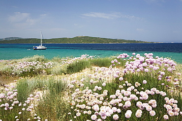 Flowering cloves on the beach of Porto Puddu, Sardinia, Italy, Europe