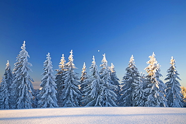 Snow-covered pine trees in the first morning light on the Belchen summit, Black Forest, Baden-Wuerttemberg, Germany, Europe