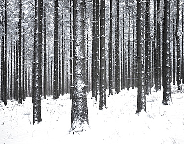 Forest after a snow storm, Mt. Kandel, Black Forest, Baden-Wuerttemberg, Germany, Europe