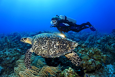 Female diver with a lamp observing a genuine Hawksbill Turtle (Eretmochelys imbricata) in a coral reef, Turneffe Atoll, Belize, Central America, Caribbean