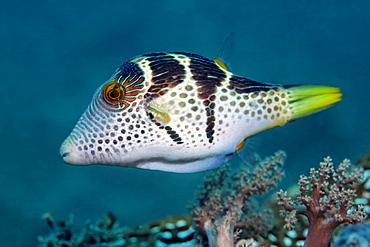 Valentinni's Sharpnose Puffer (Canthigaster valentini), coral reef, Selayar Island, West coast, South Sulawesi, Indonesia, Java Sea, Indian Ocean