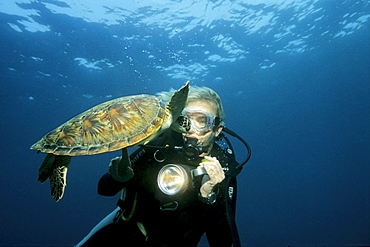 Young Green Sea Turtle, (Chelonia mydas) swimming curiously toward a scuba diver, Musandam, Oman, Middle East, Indian Ocean